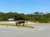 Assateague46
